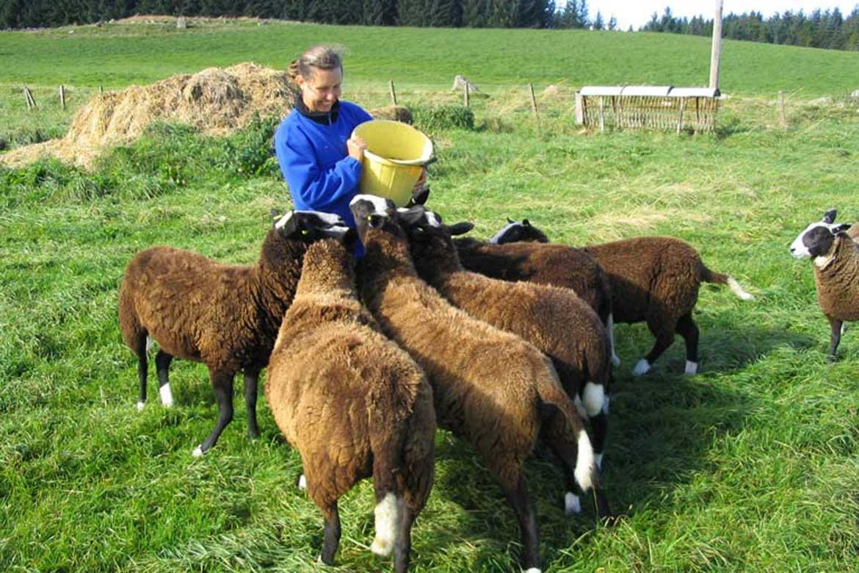 Donna Mulvenna feeding sheep while farm sitting