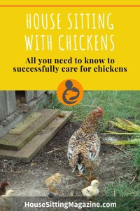 Chicken Sitters - Everything you need to know to succcessfully care for chickens on a house sit. #housesitting #chickensitters #housesittingmagazine