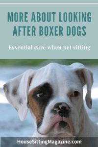 Looking after Boxers while pet sitting #housesitting and #petsitting
