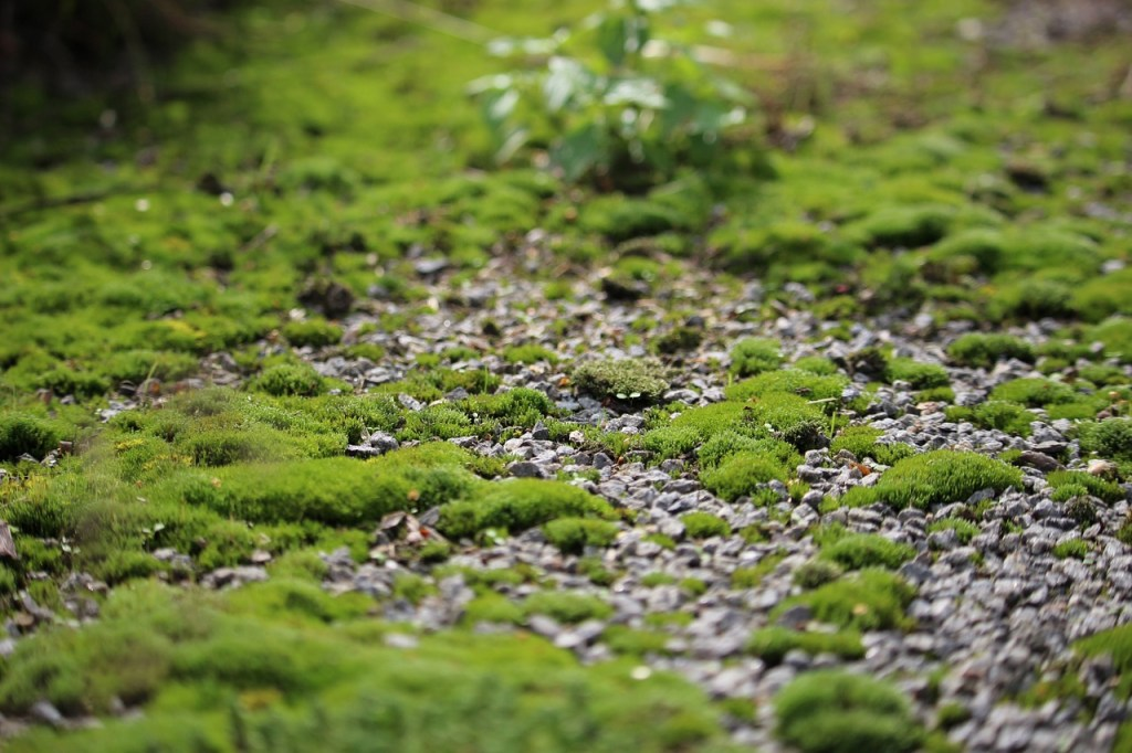 Moss growing out of stony ground.