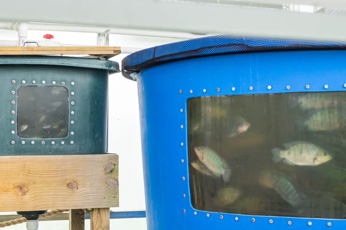 tilapia tanks at Sustainable Harvesters