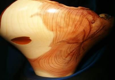 Taxus, ± 20 cm hoog