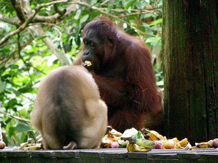 Orangutanes en Sepilok