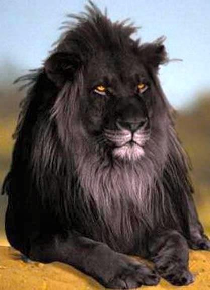 The opposite of albinism called melanism, a recessive trait where the skin and f