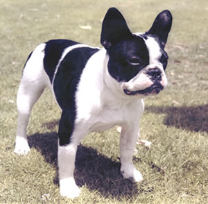 French bull dog….