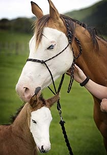 I love splash horses and how the mare passed the bald face, its fascinating!