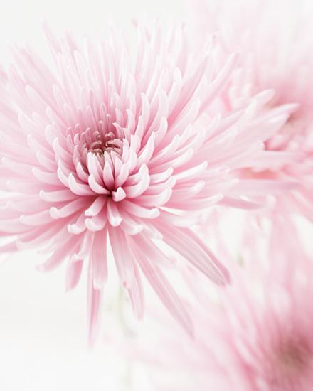 Chrysanthemums – light pink