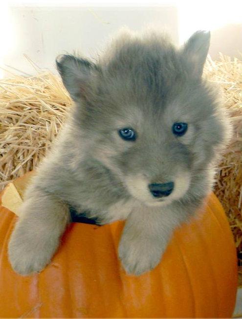 Wolf husky hybrid photos