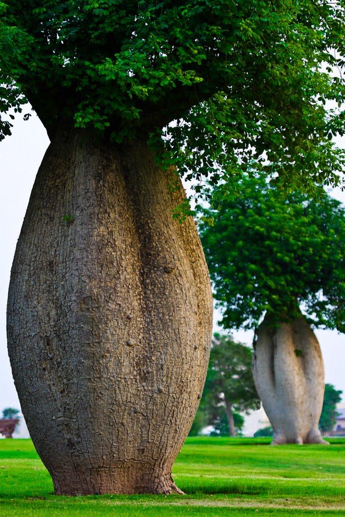 Toborochi trees at the Aspire Park, Doha, Qatar