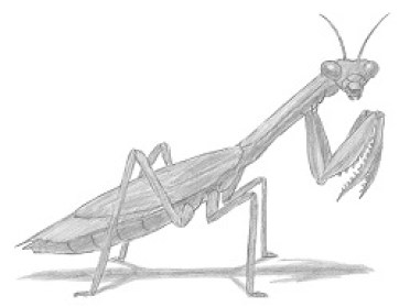 Image result for Praying Mantis drawing