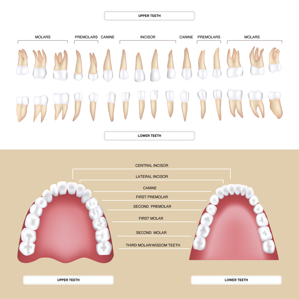 The Different Types Of Teeth
