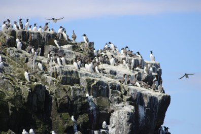 Guillemots and their poop