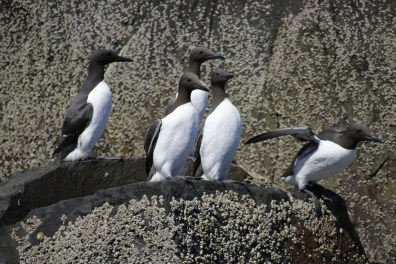 Group of guillemots
