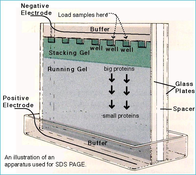 SDS-PAGE gel electrophoresis