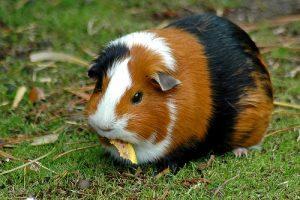 guinea pig cost