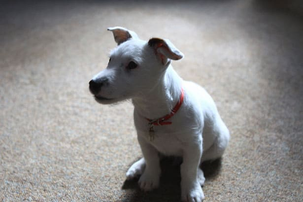 how much does jack russell cost in 2017 cost aide
