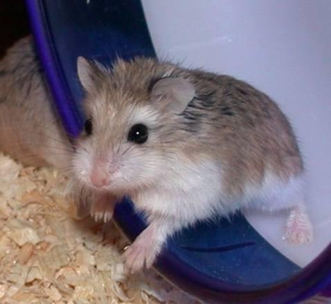 Roborovski Hamster Picture Wiki