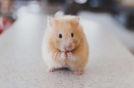 Price of white hamster, the cute pet