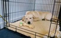 Crate Training a Labrador Puppy