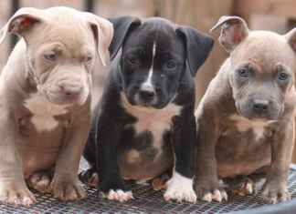 How To Raise A Pitbull Puppy