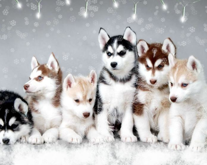 Dog Breeds The Siberian Husky
