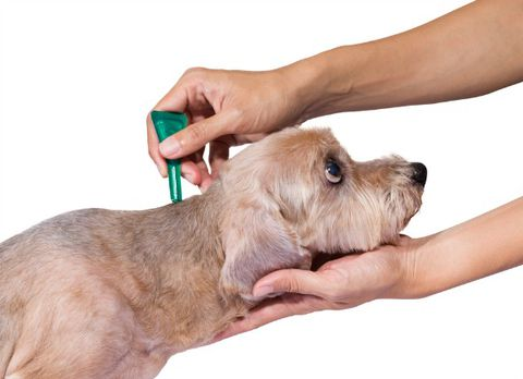 Treat dog fleas with medication