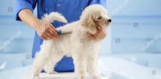 Poodle grooming habit