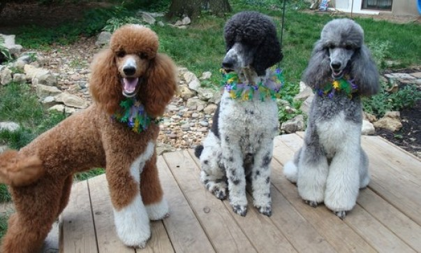 The food for the beautiful Poodle dog hairs