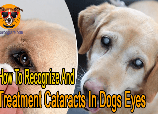 How To Recognize And Treatment Cataracts In Dogs Eyes