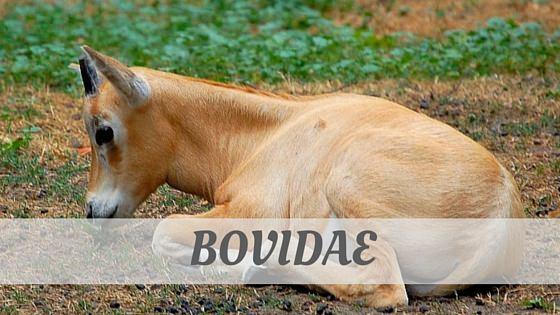 How To Say Bovidae