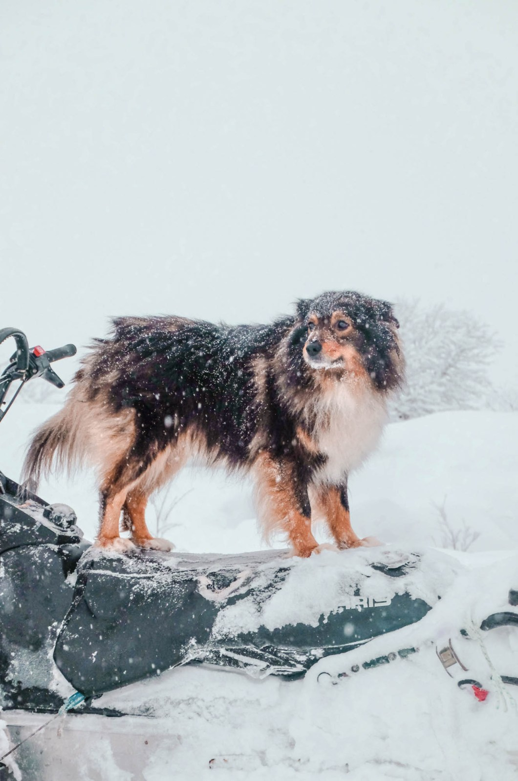 Dog riding snowmobile