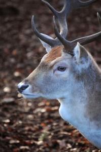 deer profile