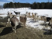 Goats at risk with Industrial Wind Turbines