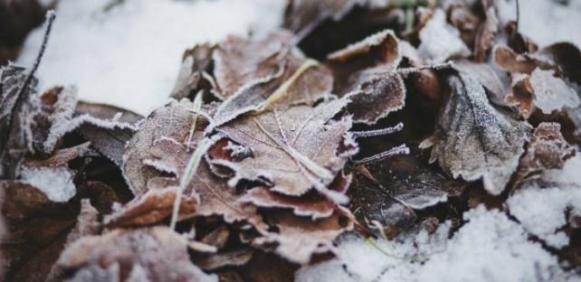Feuilles givrées dans la neige