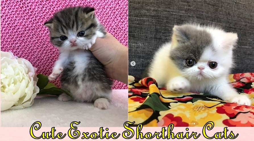 Exotic-Shorthair-Cats