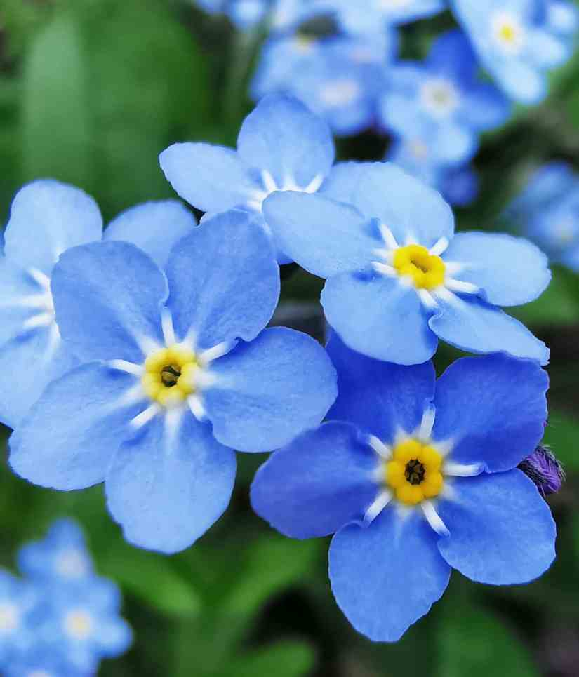 forget me not 2020062106 - What Does The Forget-Me-Not Flower Mean?