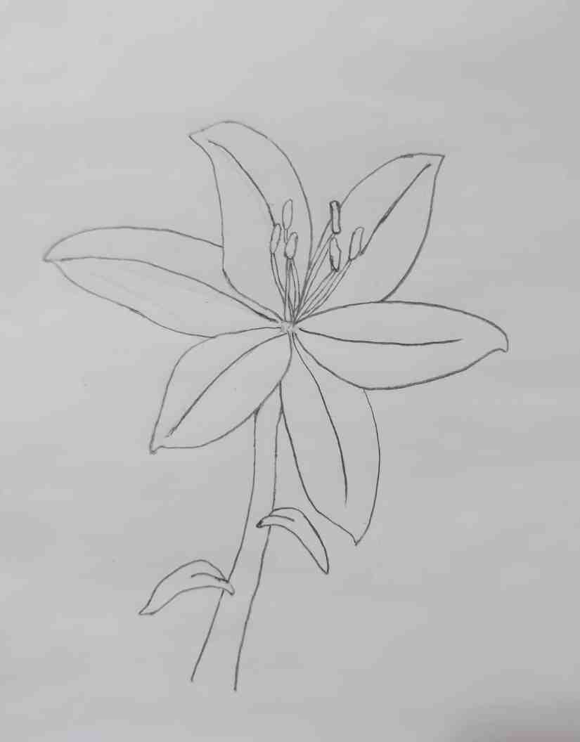 Draw a Lily 2020072104 - How to Draw a Lily: Practice for Beginners