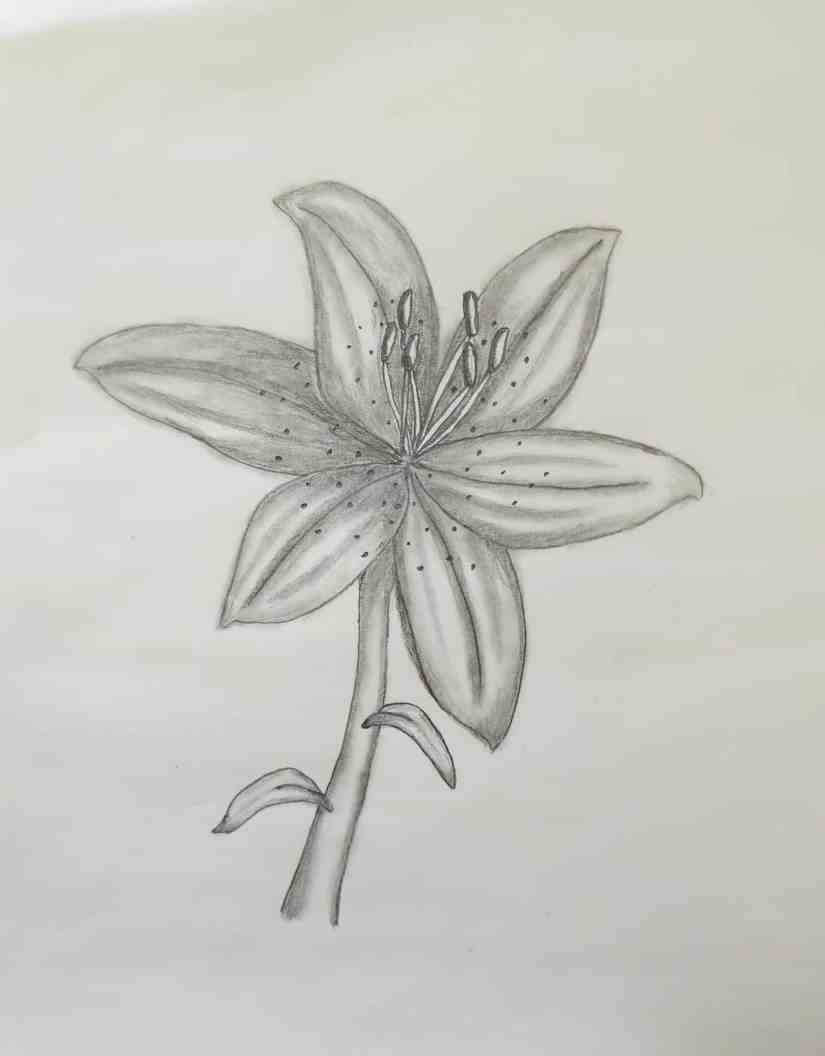 Draw a Lily 2020072105 - How to Draw a Lily: Practice for Beginners