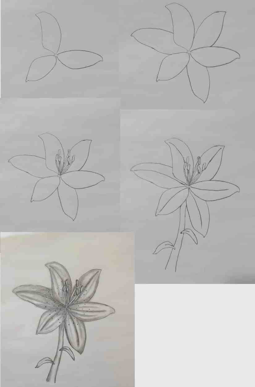 Draw a Lily 2020072106 - How to Draw a Lily: Practice for Beginners