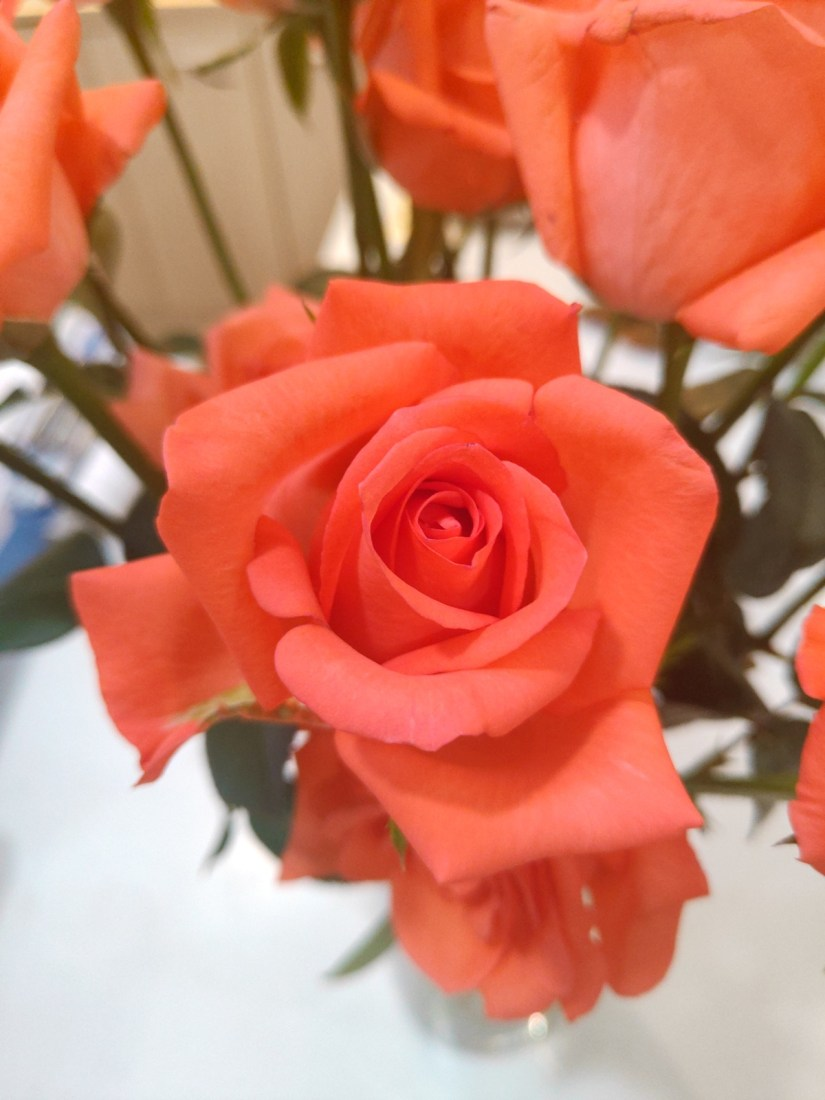 Orange Rose 2020070702 - 11 Most Beautiful Orange Roses and Meaning