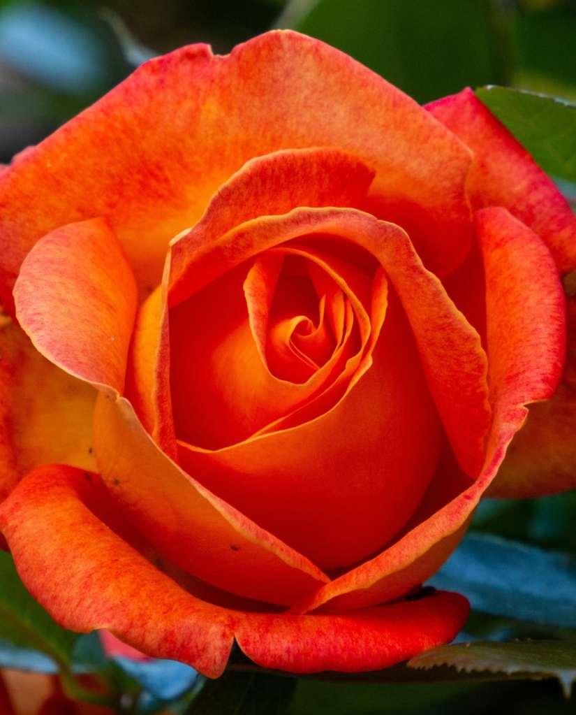 Orange Rose 2020070703 - 11 Most Beautiful Orange Roses and Meaning
