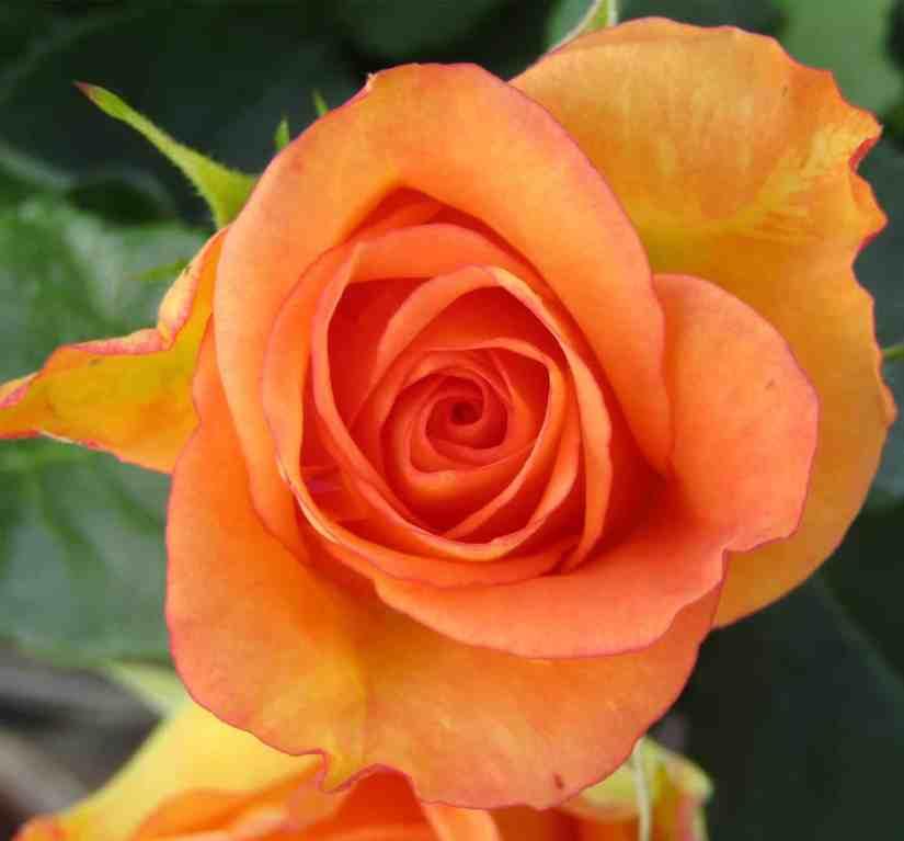 Orange Rose 2020070708 - 11 Most Beautiful Orange Roses and Meaning