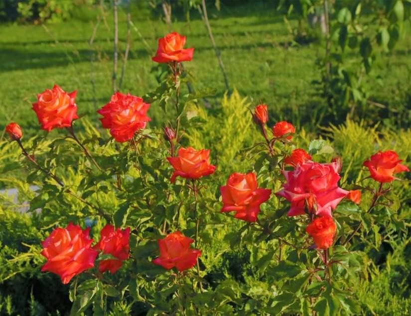 Orange Rose 2020070710 - 11 Most Beautiful Orange Roses and Meaning