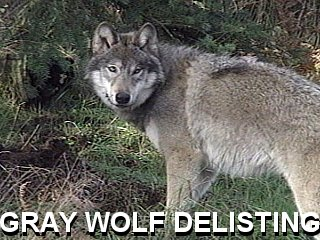 Gray_Wolf_Delisting