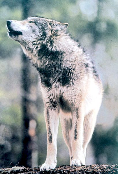 409px-Gray_Wolf_in_Grand_Teton_NP-NPS