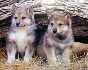 wolf pups 2