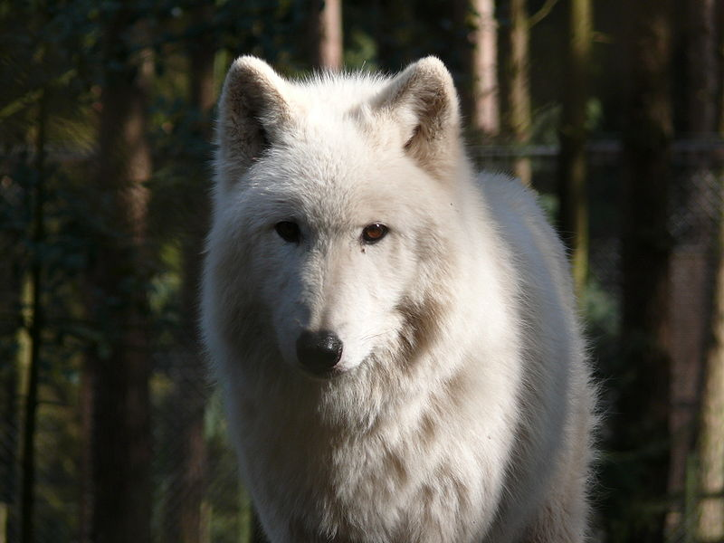 beautiful canis lupus arctos