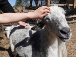 A Chip-In Farm goat