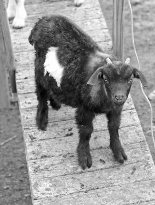 Got your goat at Springdell Farm. Photo by Tory Germann.
