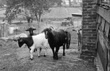 Curious Goats at Springdell Farm. Photo by Tory Germann.